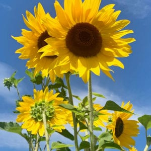 Sunflower Gift Card